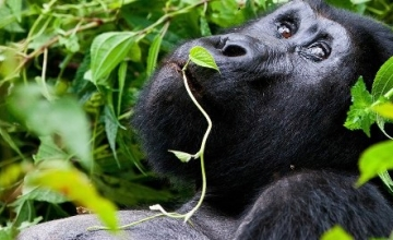 Mini break / Short Gorilla Trek – 1 Day Gorilla Tracking Safari in Rwanda