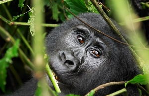 4 Days Uganda Gorilla Safari – Double gorilla tracking Adventure