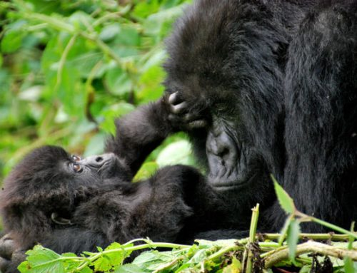 Which is the most easy/tough gorilla group to track in Rwanda? – Rwanda Safari News