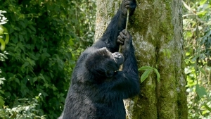 Can Gorillas climb trees