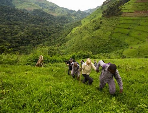 How to Know the Best Time for Rwanda Gorilla Trekking Safaris -Rwanda Safari News