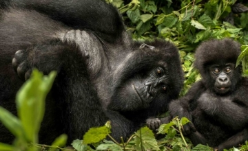 This 2 days Rwanda gorilla safari is a mini-break holiday designed to suit the time constrained travelers.