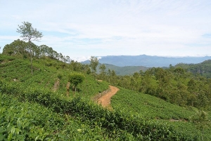Mpanga tea estate