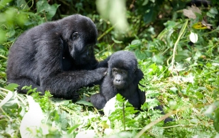For How Long Do Gorillas Live? Rwanda Safari News