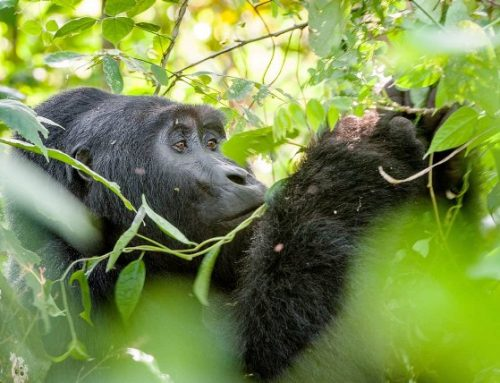 How Protecting Mountain Gorillas Helps Save Many Species – Rwanda Safari News