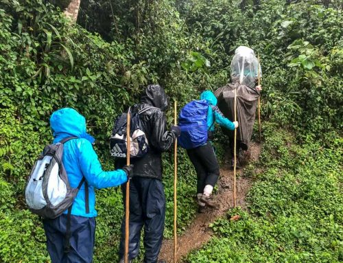 Rwanda Gorilla Trekking Safaris in the Rainy / Wet Season –Rwanda Safari News