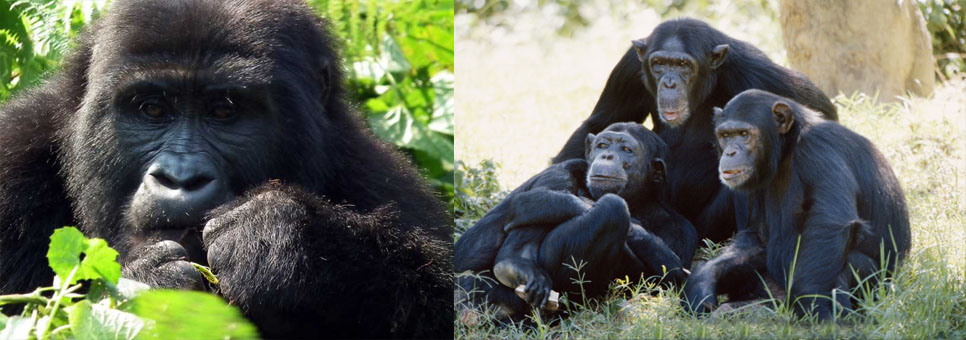 gorillas-and-chimpanzees