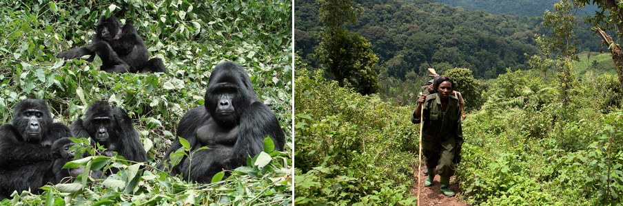 gorilla-trekking-in-bwindi1