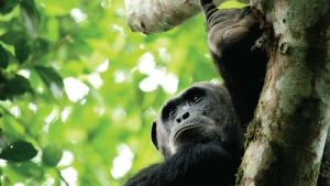 15 Days Rwanda Uganda Safari Gorilla Tracking Tour in Bwindi & Volcanoes
