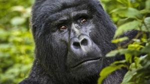 18 days Uganda Rwanda gorilla safari