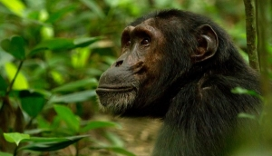 6 Days Rwanda Primate Safari