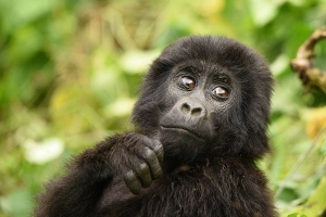 7 Days Uganda Gorilla, Chimpanzee & Wildlife Safari