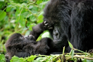 Behavior of Mountain Gorillas