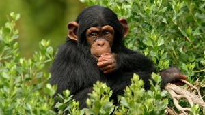 Chimpanzee Trekking Safari in Uganda to Kibale Forest NP - 2 Days