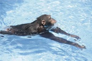 Do Gorillas fear Water