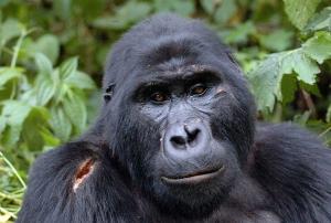 3 Days Uganda Gorilla Safari, Bwindi Gorilla Trekking / tracking Safari