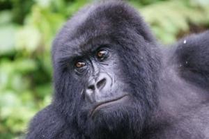Gorilla safari to Mgahinga Gorilla NP