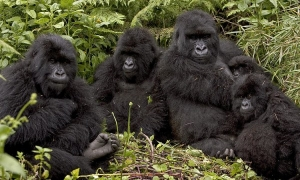 How Gorilla Families Are Allocated
