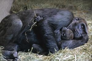 How do Gorillas sleep?