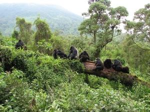 Mountain Gorilla Habitats