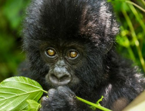 What Happens Now After Hirwa's Crossing into Uganda- Rwanda Gorilla Safari News