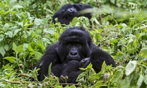 7 Days Uganda Gorilla Tracking Safari