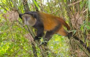 golden monkeys in Mgahinga