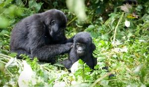 For How Long Do Gorillas Live? Rwanda Safari News